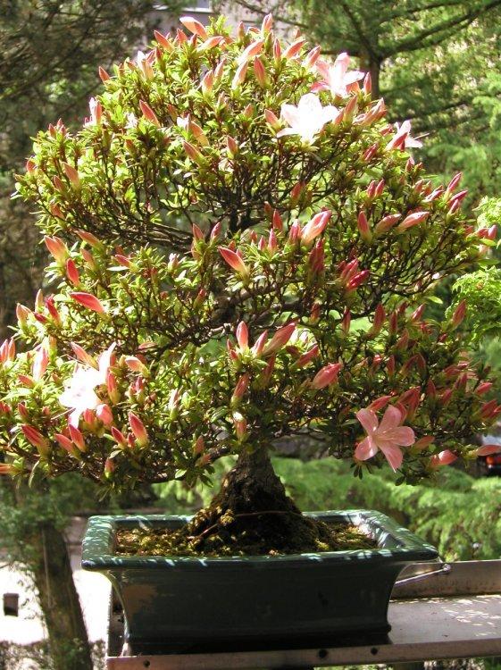 bonsai info center detailansichten azalee japonica. Black Bedroom Furniture Sets. Home Design Ideas